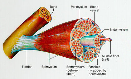 diagram of bone muscles fibers